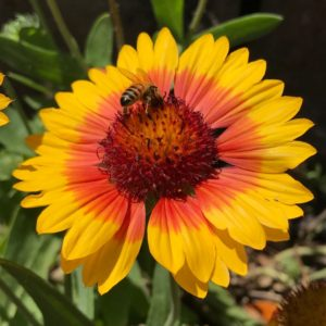 Bee in Marin