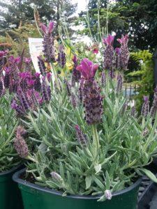 Lavendula aka lavender