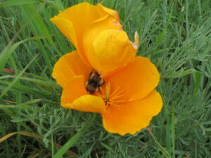A bee feeds in a California Poppy