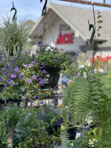 Marin Ace hanging plants